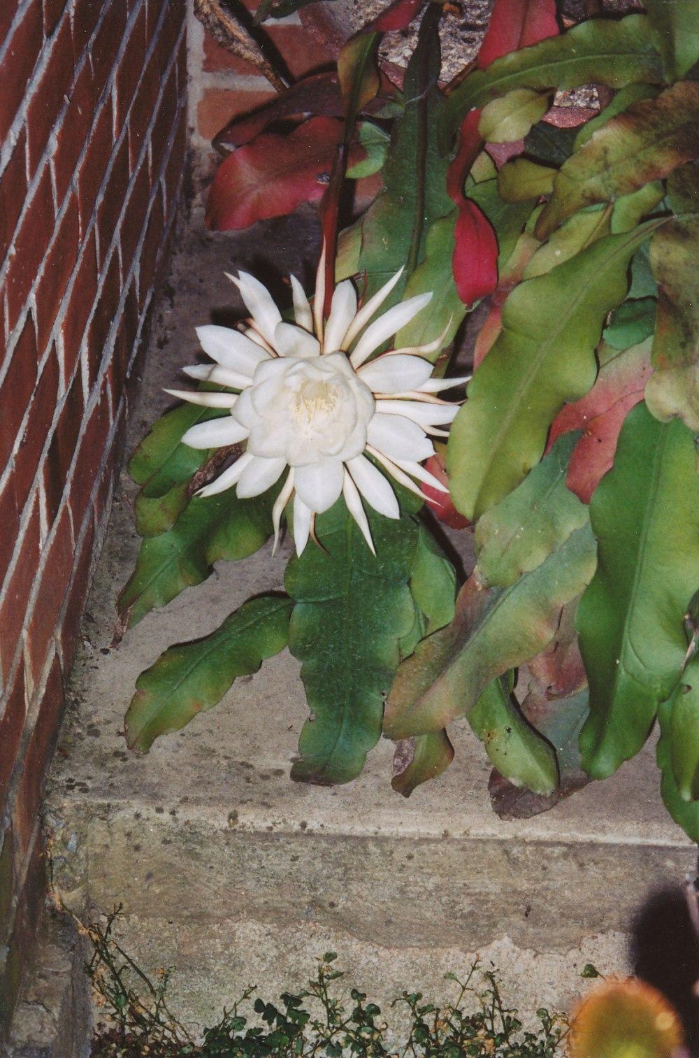 night blooming cereus_0001