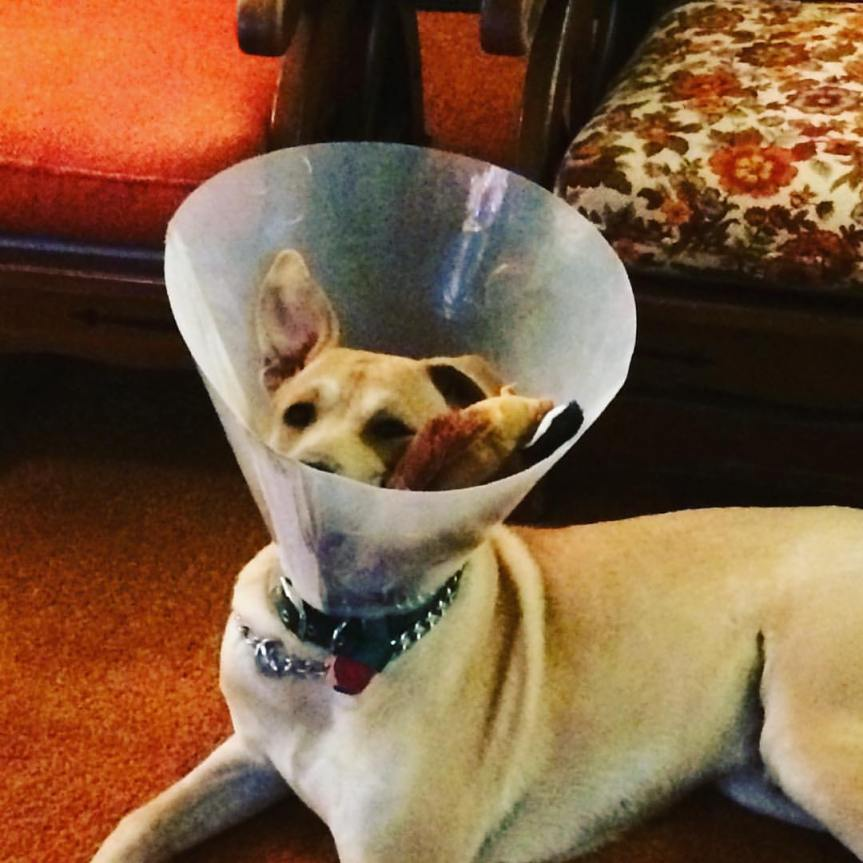 Sputnik being silly in his cone of shame.